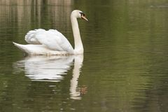 A mute swan at the Ornamental Pond, Southampton Common royalty free stock image