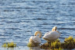Mute swan pair at the beach Stock Photo