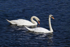 Mute Swan Pair Royalty Free Stock Photography