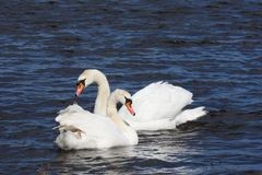 Mute swan on a pond Stock Images