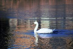 Mute Swan on pond in Boise Idaho. Mute Swan on an iced up pond in Boise Idaho. Cold day with ice on the water Stock Image