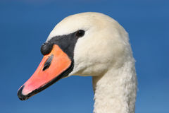 Mute Swan Portrait. Portrait of a Mute Swan against solid blue sky Royalty Free Stock Photography