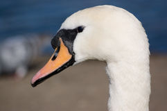 Mute Swan portrait Royalty Free Stock Images