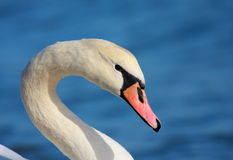 Mute swan portrait Royalty Free Stock Photos