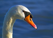 Mute swan portrait Stock Photography
