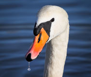 Mute Swan portrait Royalty Free Stock Image