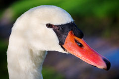 Mute swan portrait (Cygnus olor) Royalty Free Stock Photo