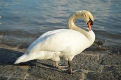 Mute Swan portrait. Majestic swan in Lucerne, switzerland Royalty Free Stock Image