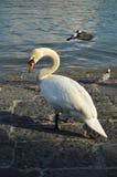 Mute Swan portrait. Majestic swan in Lucerne, switzerland Stock Photography
