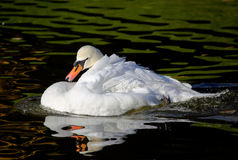 Mute swan preening Stock Photography