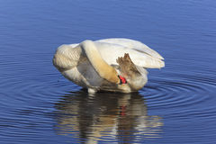 Mute swan preening himself Stock Photography