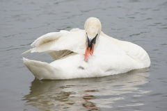 Mute Swan preening his feathers. Stock Photography