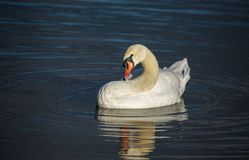 A mute swan preening its feathers royalty free stock image