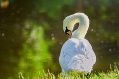 Mute swan preening on the lakeshore Stock Photography