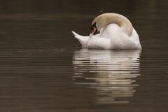 A mute swan preening royalty free stock photo