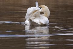 A mute swan preening Royalty Free Stock Images