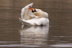 A mute swan preening Royalty Free Stock Photo