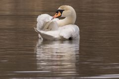 A mute swan preening Stock Photography