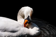 Mute Swan Preening Royalty Free Stock Photo