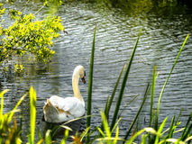 Mute Swan in Reed Bed - Evening Sun Royalty Free Stock Image