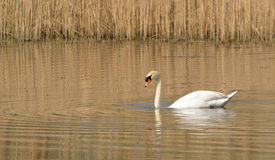 Mute Swan and reed Beds. Royalty Free Stock Image