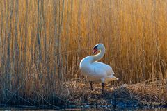 Mute swan at the reeds Royalty Free Stock Images