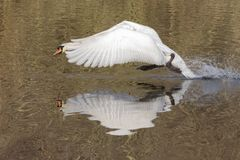 A mute swan flying just above the Ornamental Pond, Southampton Common Royalty Free Stock Image