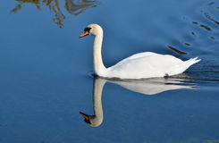Mute Swan and reflection Stock Image