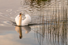 Swan Reflection Warm evening light Royalty Free Stock Photo