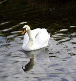 Mute Swan reflections Stock Image