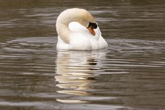 A mute swan resting on the Cemetery Lake, Southampton Common. A white swan resting on the Cemetery Lake Southampton Common, Hampshire, UK stock image