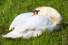 Mute swan resting in the grass Royalty Free Stock Images