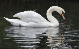 A mute swan royalty free stock images