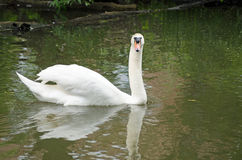 Mute Swan, River Thames. A mute swan, latin name cygnus olor, gazing directly at the camera while swimming on the River Thames in Oxfordshire Stock Photos