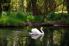 Mute Swan on River with Woodland Stock Images