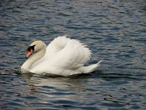 Mute swan with ruffled feathers Royalty Free Stock Images