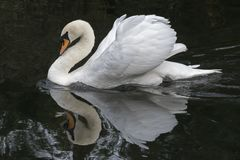 A mute swan. With ruffled feathers on the River Itchen, Southampton, Hampshire, UK Stock Photos