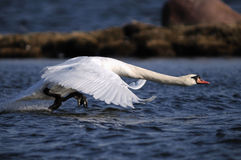 Mute Swan on the runway. Mute Swan getting up from the sea Stock Photography