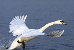Mute Swan on the runway. Mute Swan getting up from the sea Stock Photo