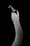 Mute Swan's Head and Neck in Black and White Royalty Free Stock Photos