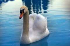 Mute Swan said most beautiful Regal bird Stock Images