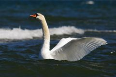 Mute Swan in the sea Royalty Free Stock Photography