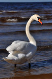 Mute Swan at sea Royalty Free Stock Images