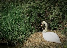 Mute Swan seen sitting on her clutch of eggs near a riverbank in summer. royalty free stock image