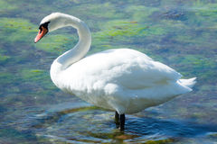 Mute swan. In shallow water Stock Images
