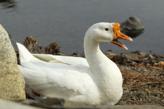 Mute swan by the shore. Stock Photo