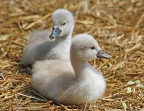 Mute Swan siblings resting on a nest of straw.   One week old Stock Photos