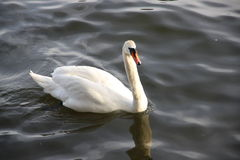 Mute swan, single bird Royalty Free Stock Photo