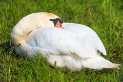Mute swan sleep Royalty Free Stock Photo