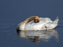 Mute Swan Sleeping Stock Photo